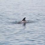 Delfine beobachten - Bocas del Toro
