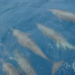 Delfine im Wasser - Bocas del Toro