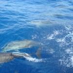 Delfine Bocas del Toror Panama