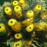 Korallen in Bocas del Toro