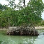 Mangroven - Bocas del Toro